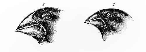 Bifinches
